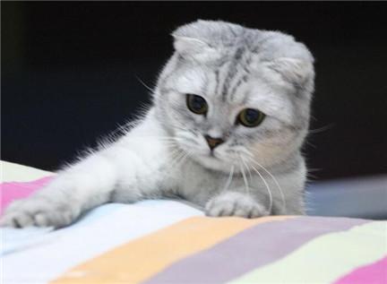 折耳猫的耳朵怎么护理?护理折耳猫耳朵有妙招
