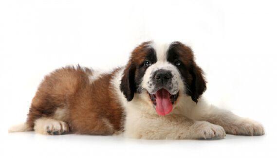 圣伯纳犬寿命多长时间?